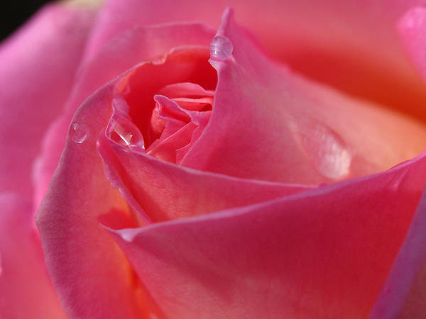 Photograph - Pink Rose by Juergen Roth