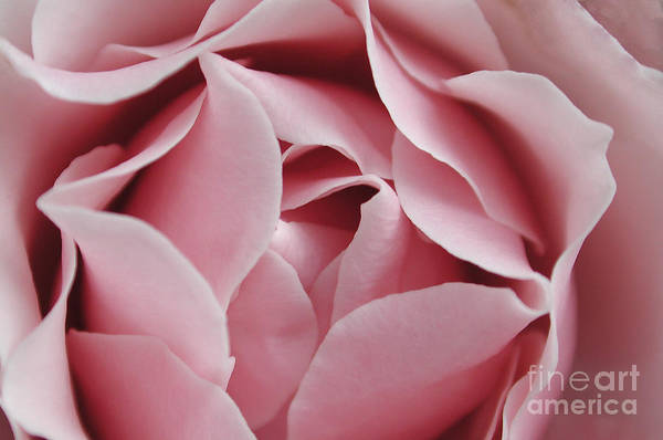 Photograph - Pink Rose by Kathi Shotwell