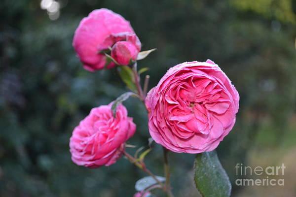 Wall Art - Photograph - Pink Rose Love 4 by Angelika Heidemann
