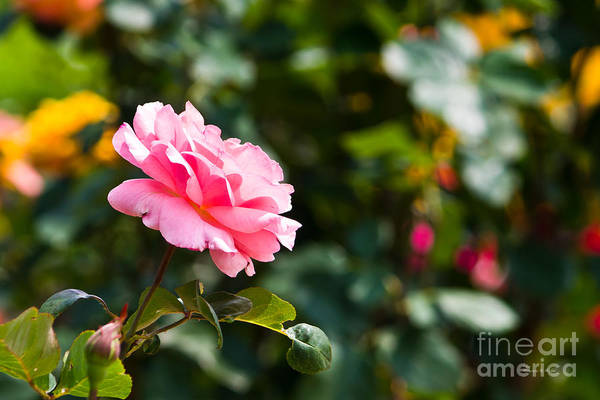 Photograph - Pink Rose by Ms Judi