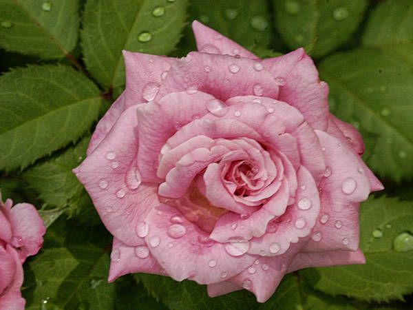 Photograph - Pink Rose Of Texas by Charles McKelroy