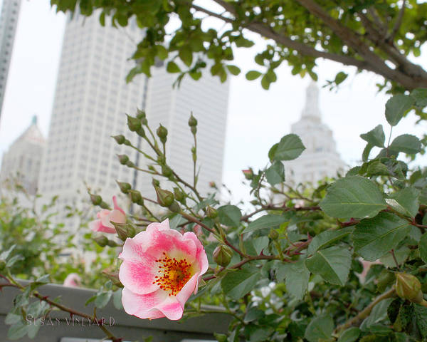 Pink Rose Of Tulsa Art Print