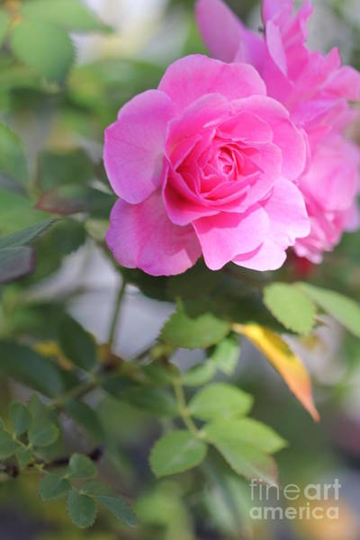 Photograph - Pink Rose Portrait by Donna L Munro