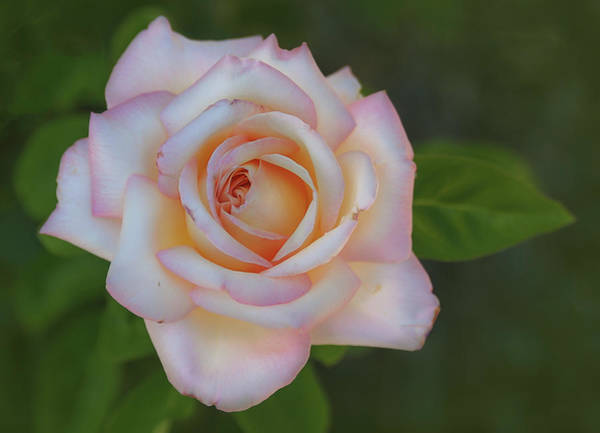 Photograph - Pink Rose by Rick Mosher