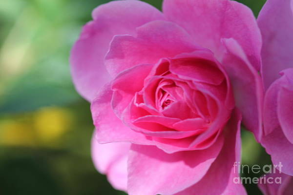 Photograph - Pink Rose V1 by Donna L Munro