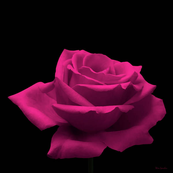 Wedding Photograph - Pink Rose by Wim Lanclus