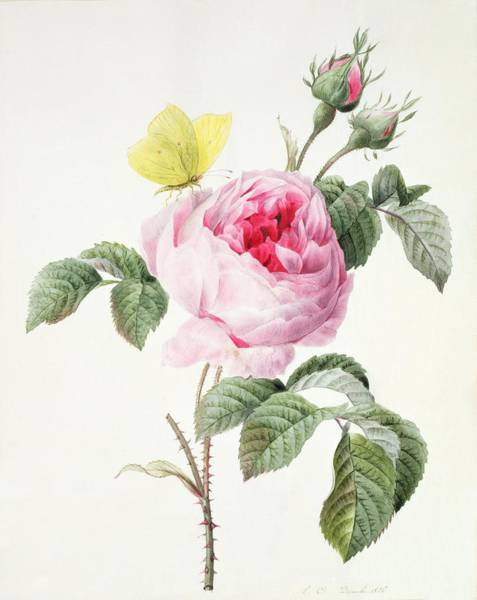 Rosebud Wall Art - Painting - Pink Rose With Buds And A Brimstone Butterfly by Louise DOrleans