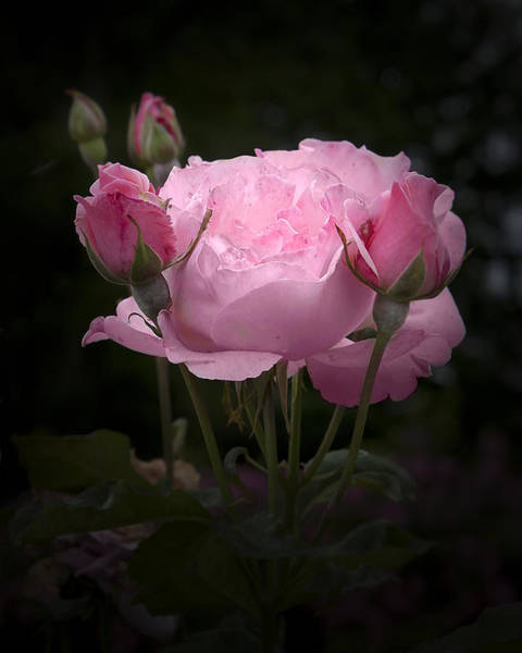 Photograph - Pink Rose With Buds by Michele A Loftus