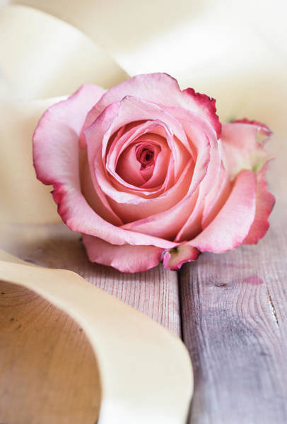 Photograph - Pink Rose With Golden Ribbon by Jaroslaw Blaminsky