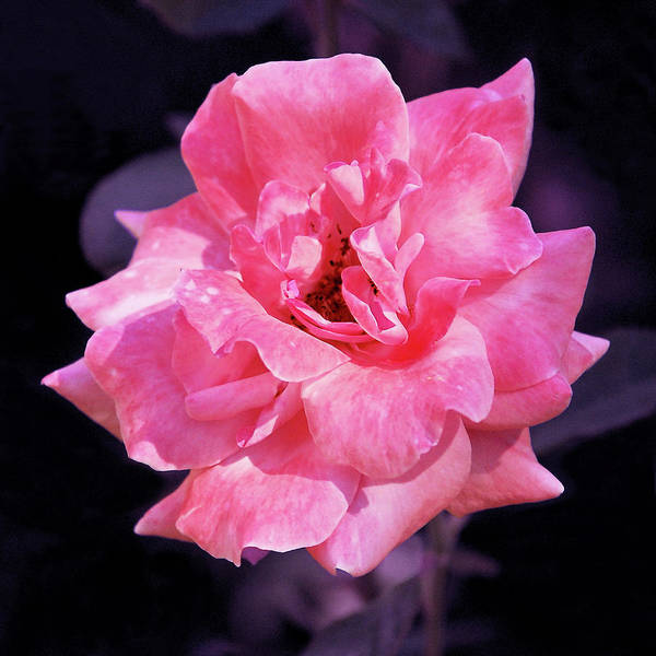 Photograph - Pink Rose With Violet by Howard Bagley