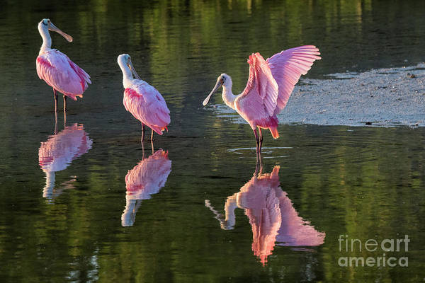 Photograph - Pink Roseate Spoonbills Reflect by Richard Sandford