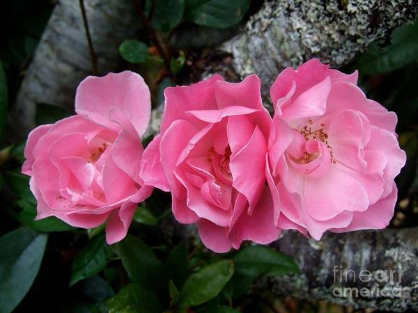 Photograph - Pink Roses Growing Through The Limbs Of The Cherry Tree by Delores Malcomson