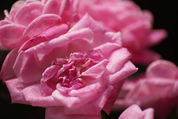Wall Art - Photograph - Pink Roses by Heather Green