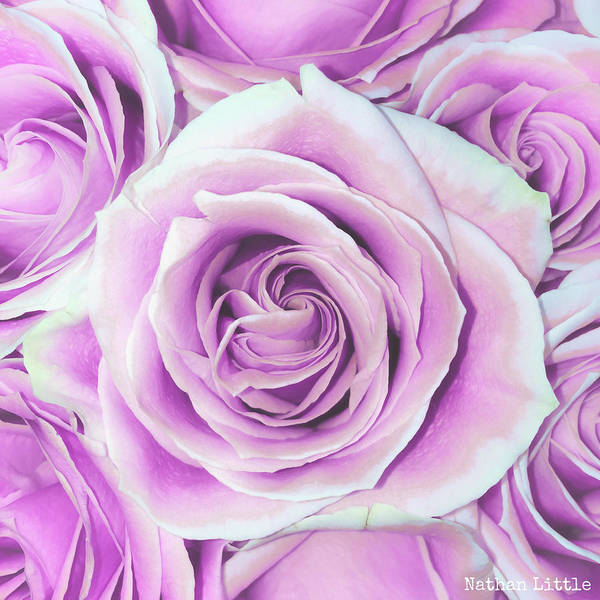 Photograph - Pink Roses by Nathan Little