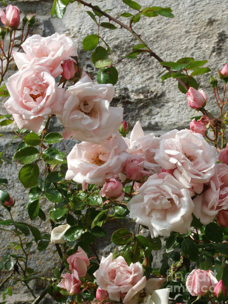 Photograph - Climbing Rose  by Phil Banks