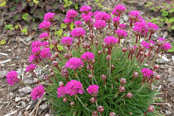 Plumbaginaceae Photograph - Pink Sea Thrift Plant In Bloom Closeup by Jit Lim
