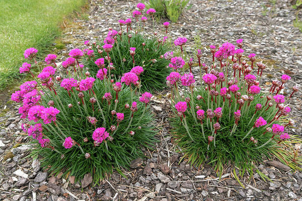 Plumbaginaceae Photograph - Pink Sea Thrift Plant In Bloom by Jit Lim