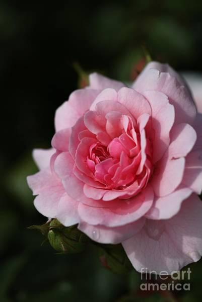 Pink Shades Of Rose Art Print