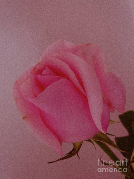 Pink Single Rose Art Print