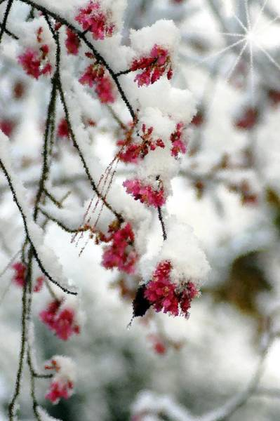 Photograph - Pink Snow Flowers by Donna Bentley