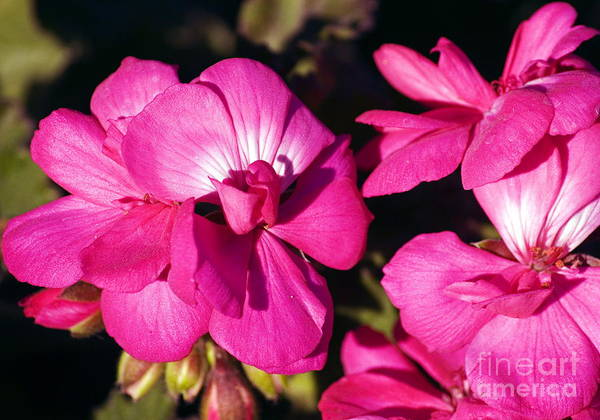 Photograph - Pink Spring Florals by Clayton Bruster