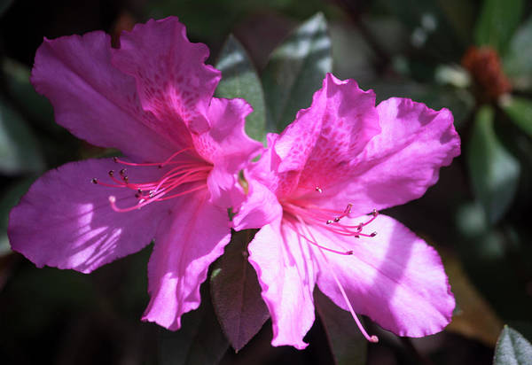 Wall Art - Photograph - Pink by Suzanne Gaff