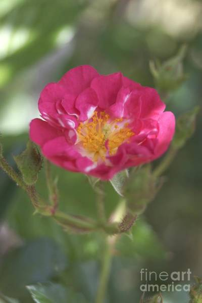Photograph - Pink Tearose by Kerri Mortenson