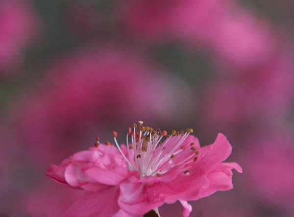 Photograph - Pink Tree Blossom Opening by Cascade Colors