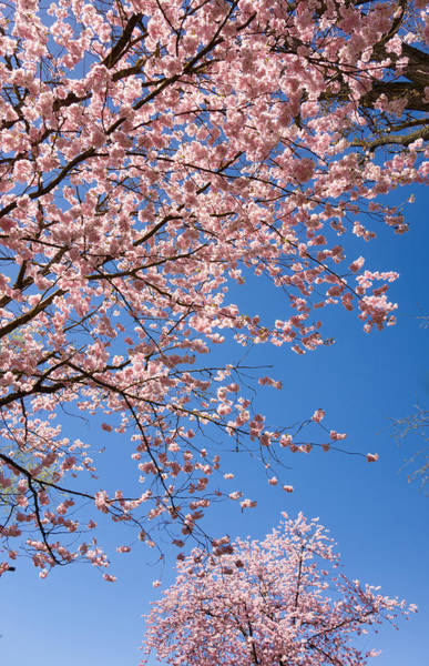 Photograph - Pink Trees In Full Bloom In Spring by Matthias Hauser