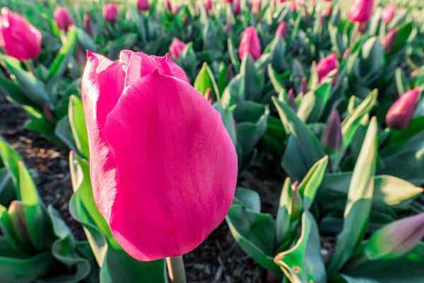 Photograph - Pink Tulip Garden by SR Green