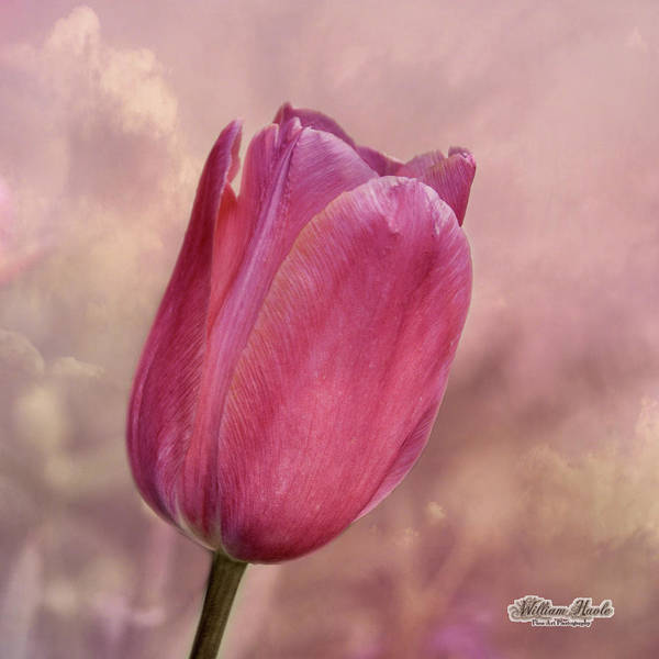 Photograph - Pink Tulip In The Clouds by William Havle