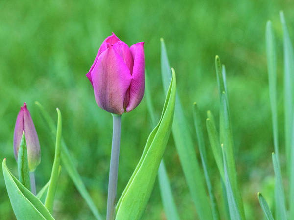 Photograph - Pink Tulip In The Garden by Cristina Stefan