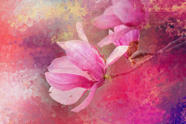 Photograph - Pink Tulip Magnolia In Spring by Jai Johnson