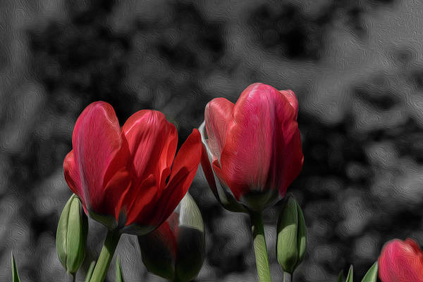 Digital Art - Pink Tulip Pop by Keith Smith