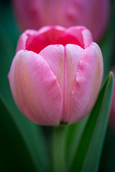 Wall Art - Photograph - Pink Tulip Portrait by Dale Kincaid