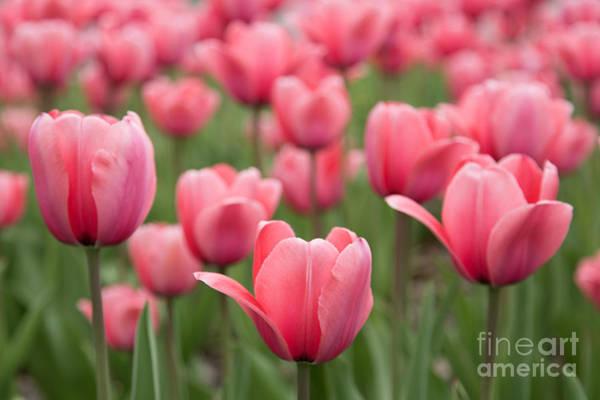 Photograph - Pink Tulip Project by Karin Pinkham