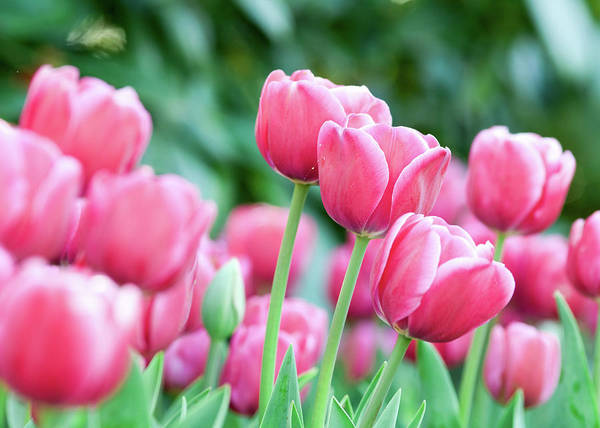 Photograph - Pink Tulips 716 by Rospotte Photography