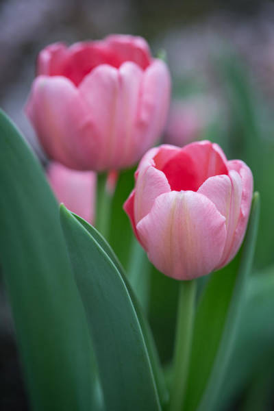 Photograph - Pink Tulips by Dale Kincaid