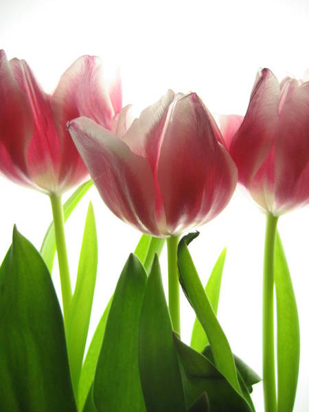 Linder Wall Art - Photograph - Pink Tulips by Jane Linders