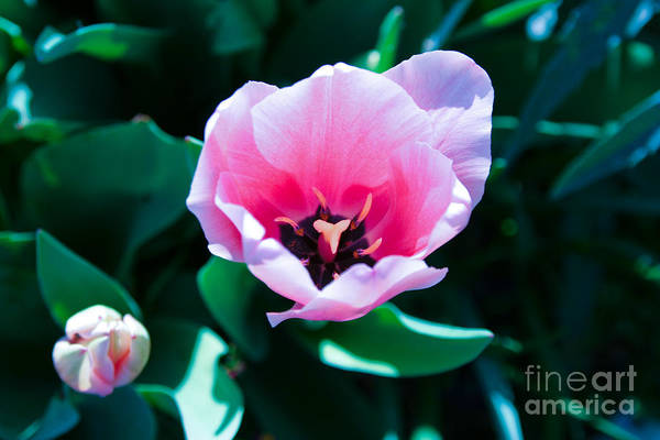 Photograph - Pink Tulips by Julia Rigler