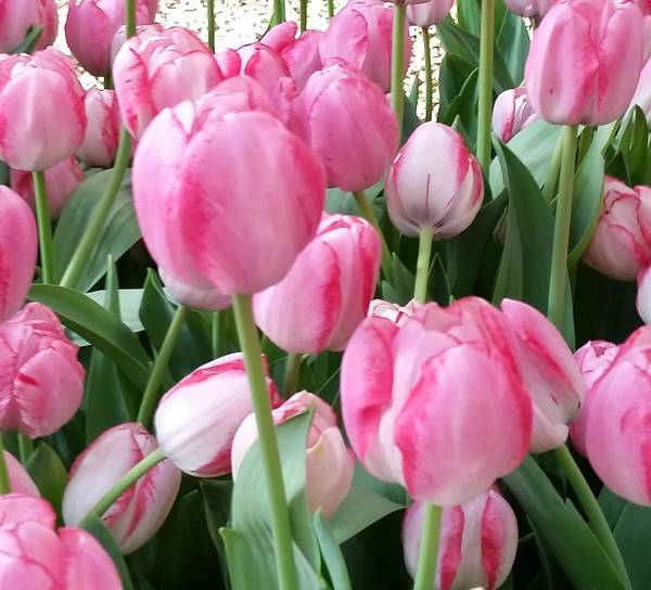 Photograph - Pink Tulips by Karen J Shine