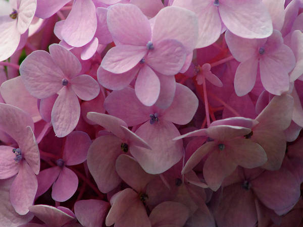 Photograph - Pink Variety 3779 Dp_2 by Steven Ward