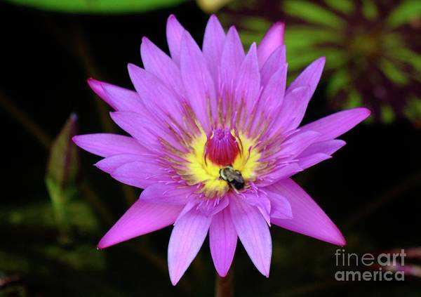 Wall Art - Photograph - Pink Water Lily Bee by Gregory E Dean