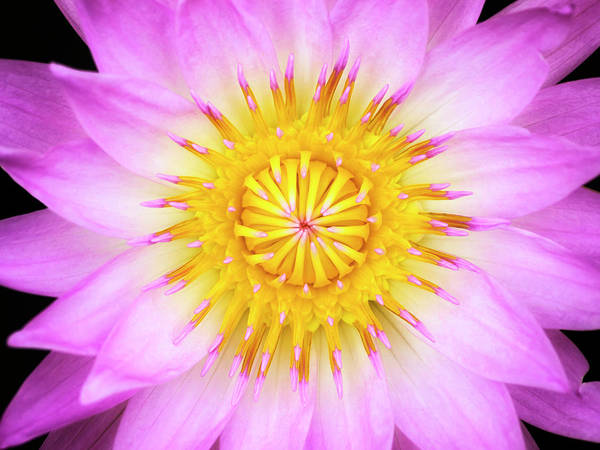 Photograph - Pink Water Lily by Christopher Johnson