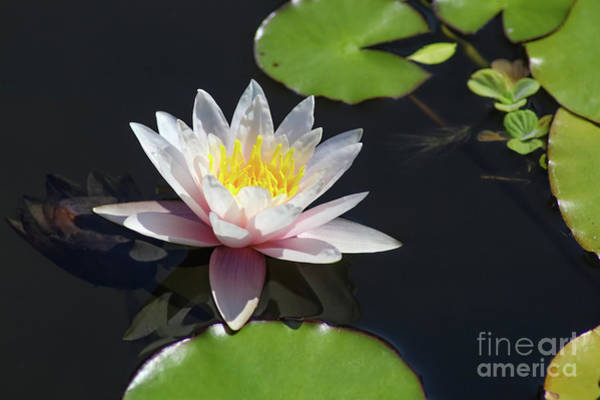 Photograph - Pink Water Lily With Reflection In Dark Water by Susan Vineyard