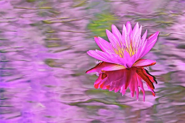 Photograph - Pink Waterlily by Kay Brewer