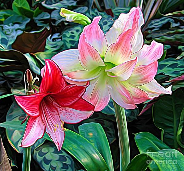 Photograph - Pink White And Red Amaryllis Flowers Expressionist Effect by Rose Santuci-Sofranko