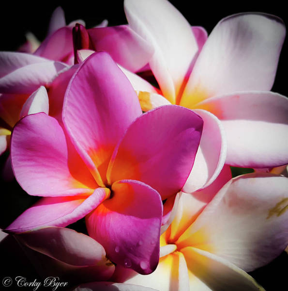 Wall Art - Photograph - Pink With White Plumeria by Corky Byer