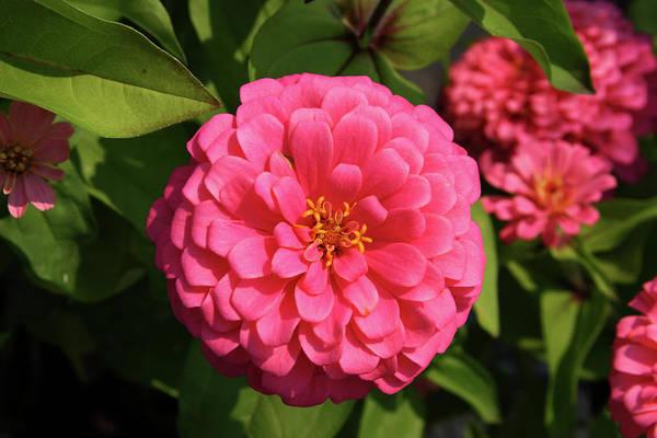 Photograph - Pink Zinnia 3785 H_2 by Steven Ward