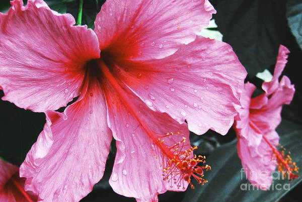 Photograph - Pinky by Robert Knight
